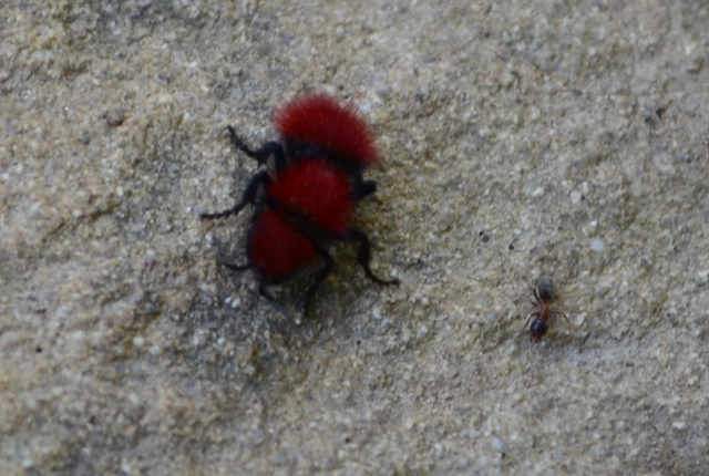 velvet ant, really a wasp