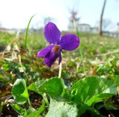 Fiołek pachnący kwiat Viola odorata flower