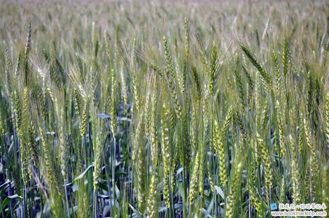 2014小麥文化節 - 話說小麥何時才會金黃出竅