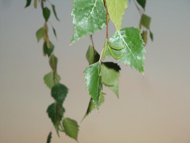 зеленые листья березы