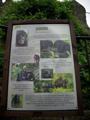 Tym razem bonobo można zobaczyć tylko w Starym Zoo