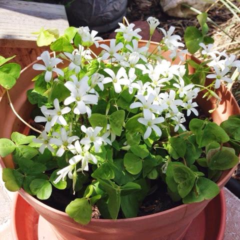 blooming shamrock plant