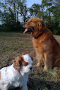Golden et cavalier king charles