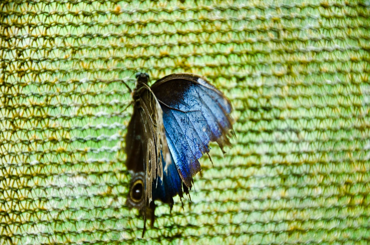 Morpho butterfly with wings open