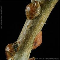 Parthenolecanium rufulum - Misecznik dębowy