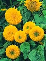 Hoa hướng dương kép lùn