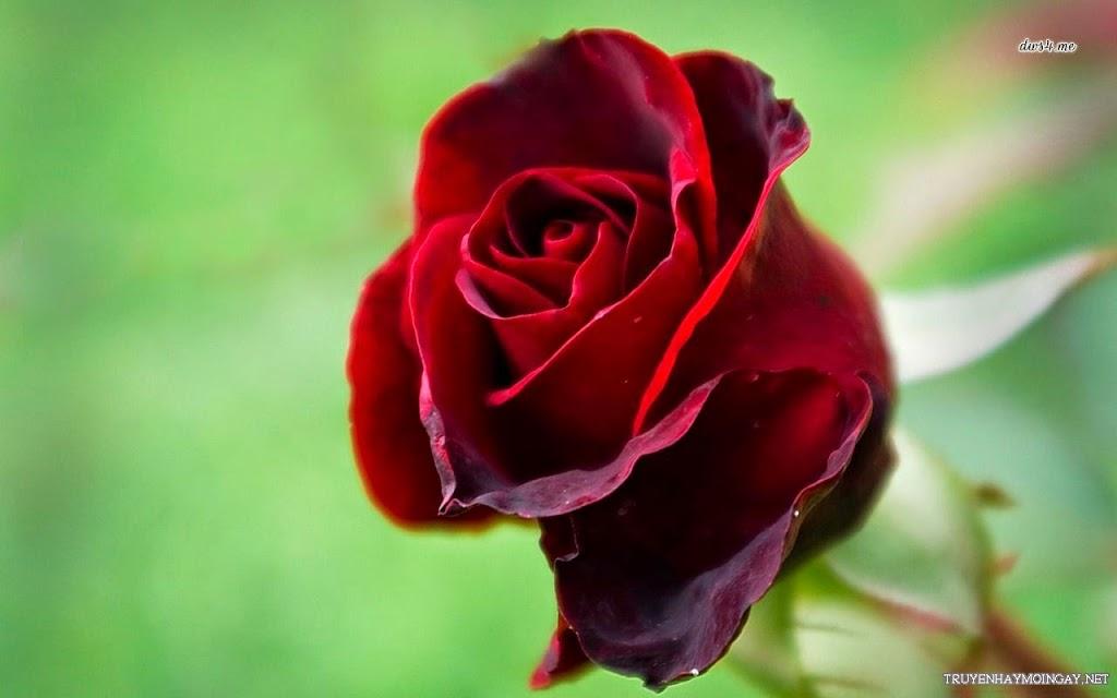Hoa Hồng – Vẻ Đẹp Không Gì Sánh Bằng