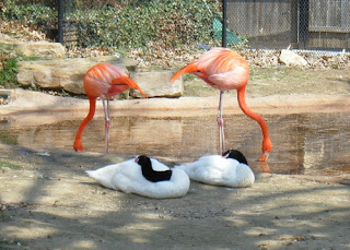 Tulsa Zoo ~ Flamingos