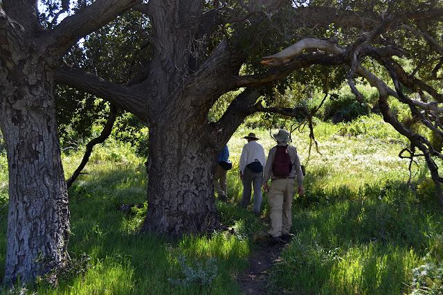 big oak tree in the canyon