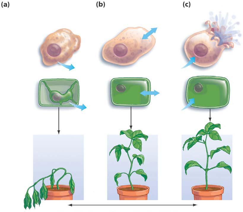 Plant transport |Osmosis In Plant Roots