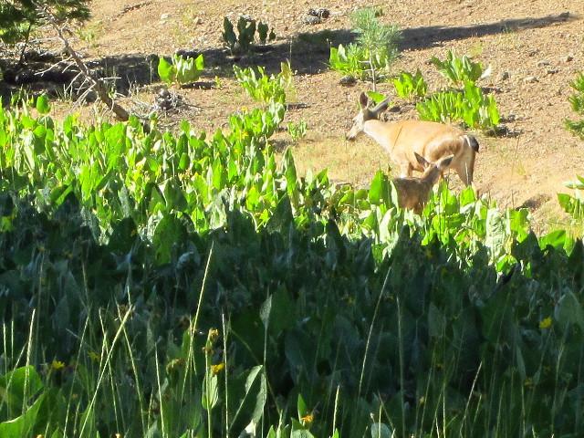 mule deer in the mule ears