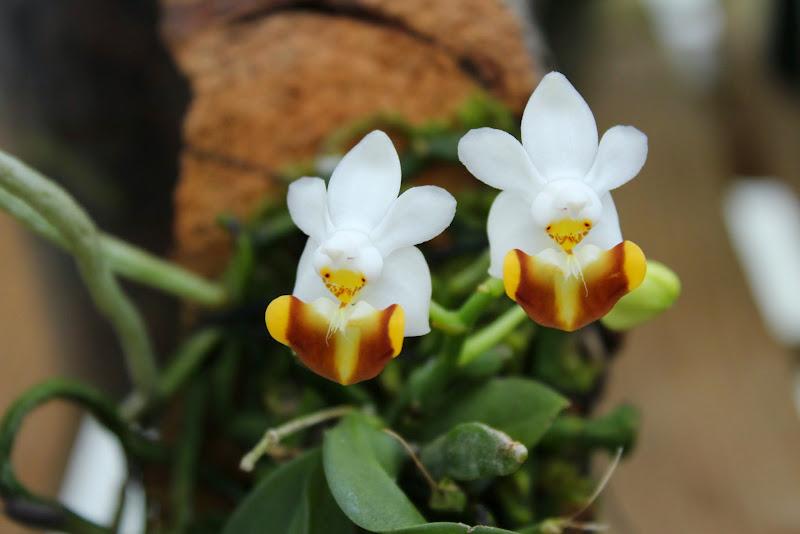 Phalaenopsis lobbii flava IMG_0357