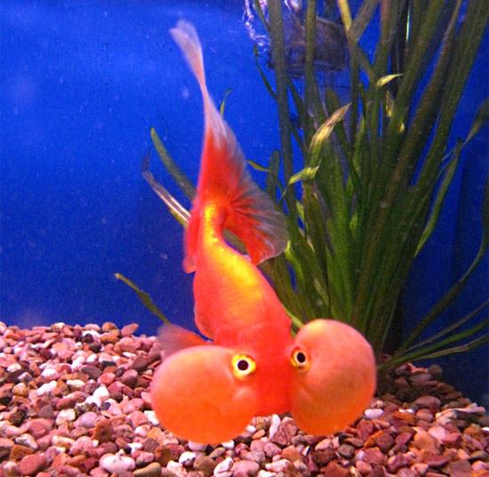 seputar dunia perikanan: ikan terchubby sedunia