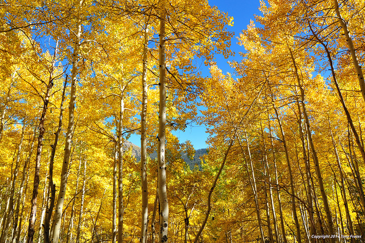 Trembling Giant Pando (11 Fascinating and Unique Trees to Put On Your Bucket List).