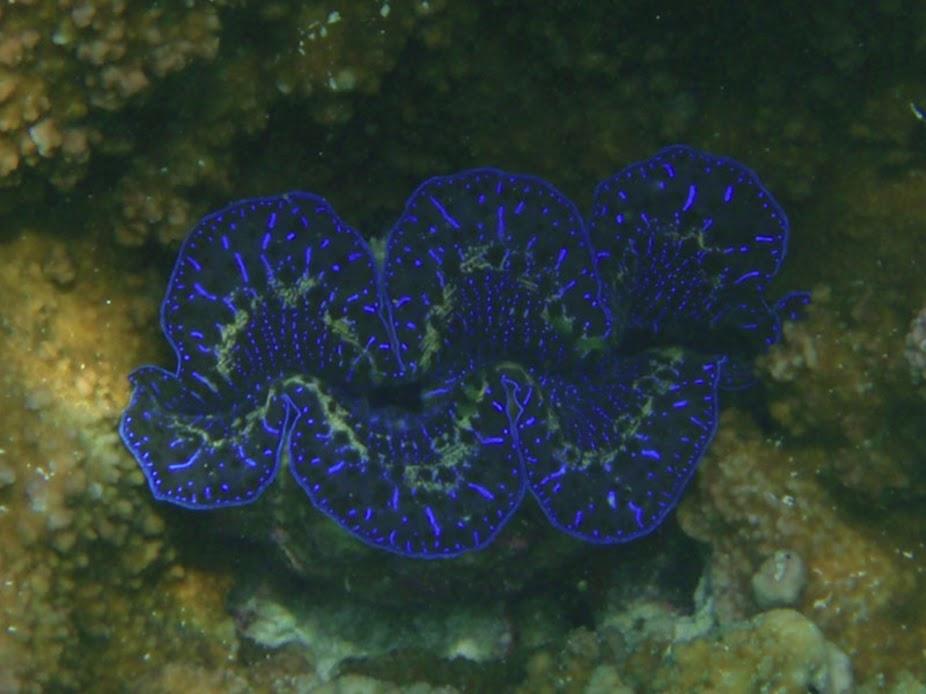 Tridacna maxima (Maxima Clam), Aitutaki.