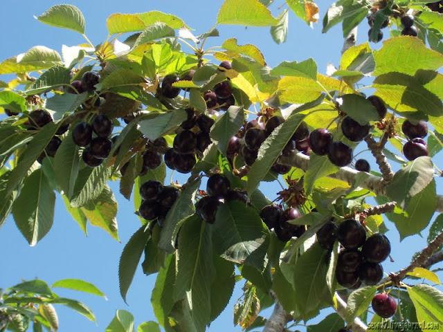 Сбор урожая в Гуш Эционе