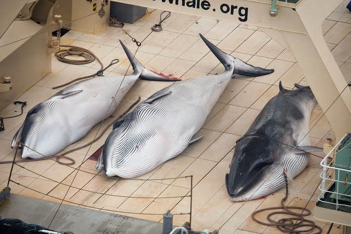 Three dead protected Minke Whales on the deck of the Nisshin Maru. Photo credit: Tim Watters, Sea Shepherds Australia