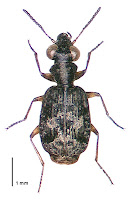 Scopodes fossulatus. Photo: BE Rhode. Citation: Larochelle A, Larivière M-C, Rhode BE 2004-2011. Checklist of New Zealand ground-beetles (Coleoptera: Carabidae) - Image gallery. The New Zealand Carabidae, NZC 01.