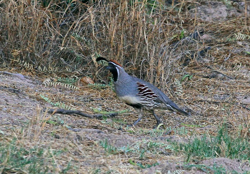 quail chat sites Gdf coturnix japanese feral quail in general chat: gun dog forum by rkappes.