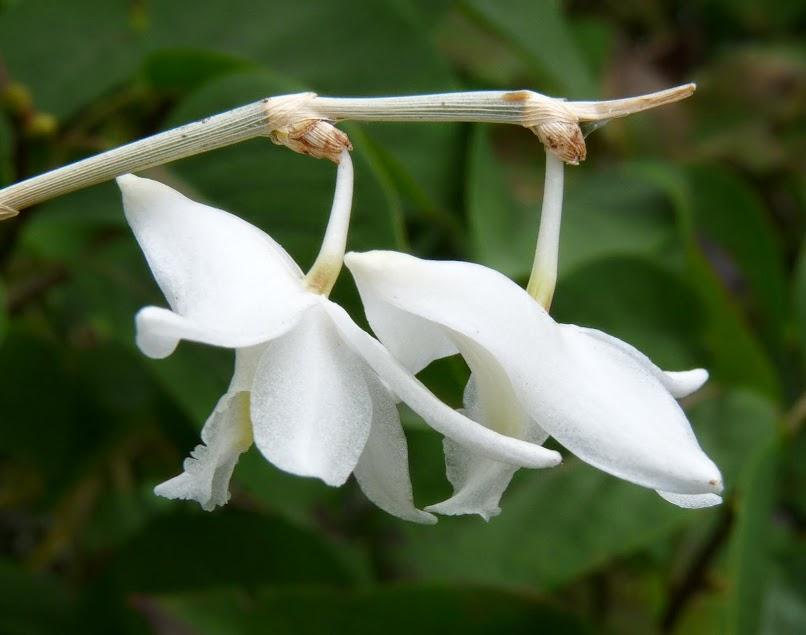Dendrobium crumenatum P1430020