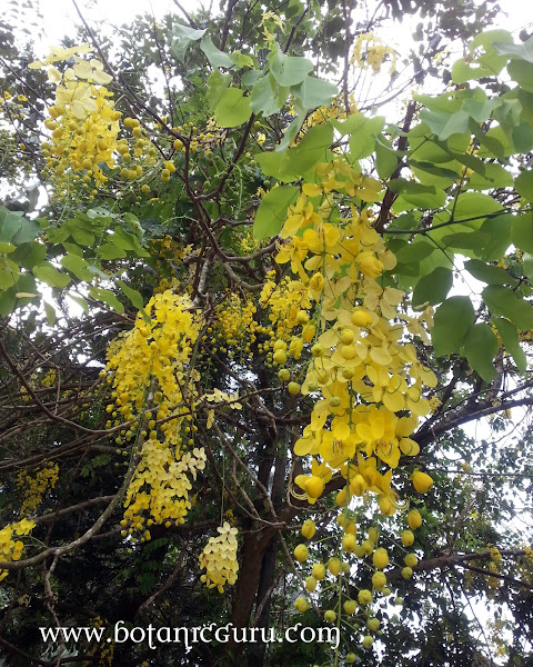 Cassia fistula, Golden Shower Tree, Indian Larbunum