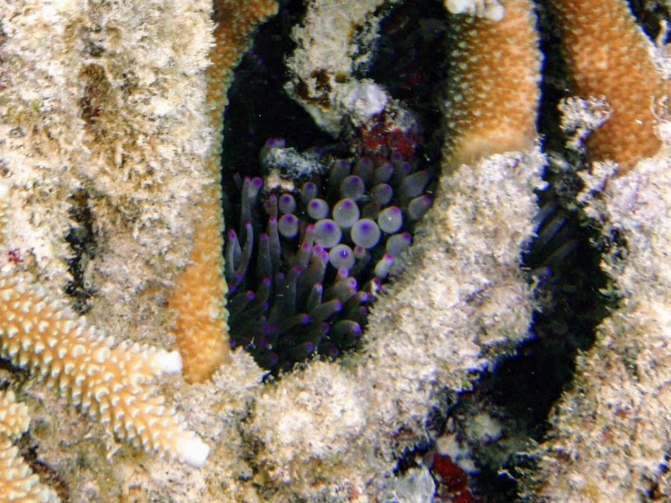 Bubble Anemone (Entacmaea quadricolor)