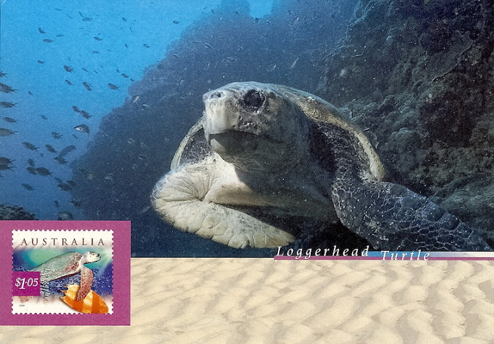 caretta black singles Information about sea turtles: species of the world  loggerhead (caretta caretta) of all the sea turtles that nest in the united states,.