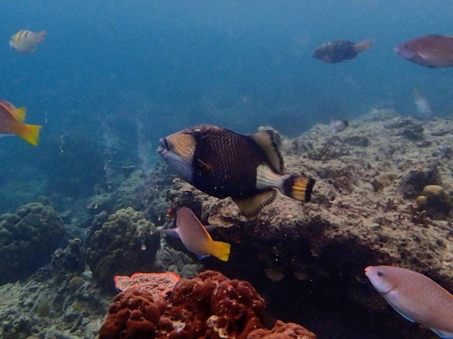 Balistoides viridescens (Titan Triggerfish), Miniloc Island Resort reef, Palawan, Philippines.