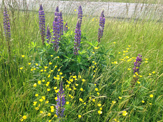 Lupines and buttercups are blooming in Federal Way, Washington, May 26, 2014.