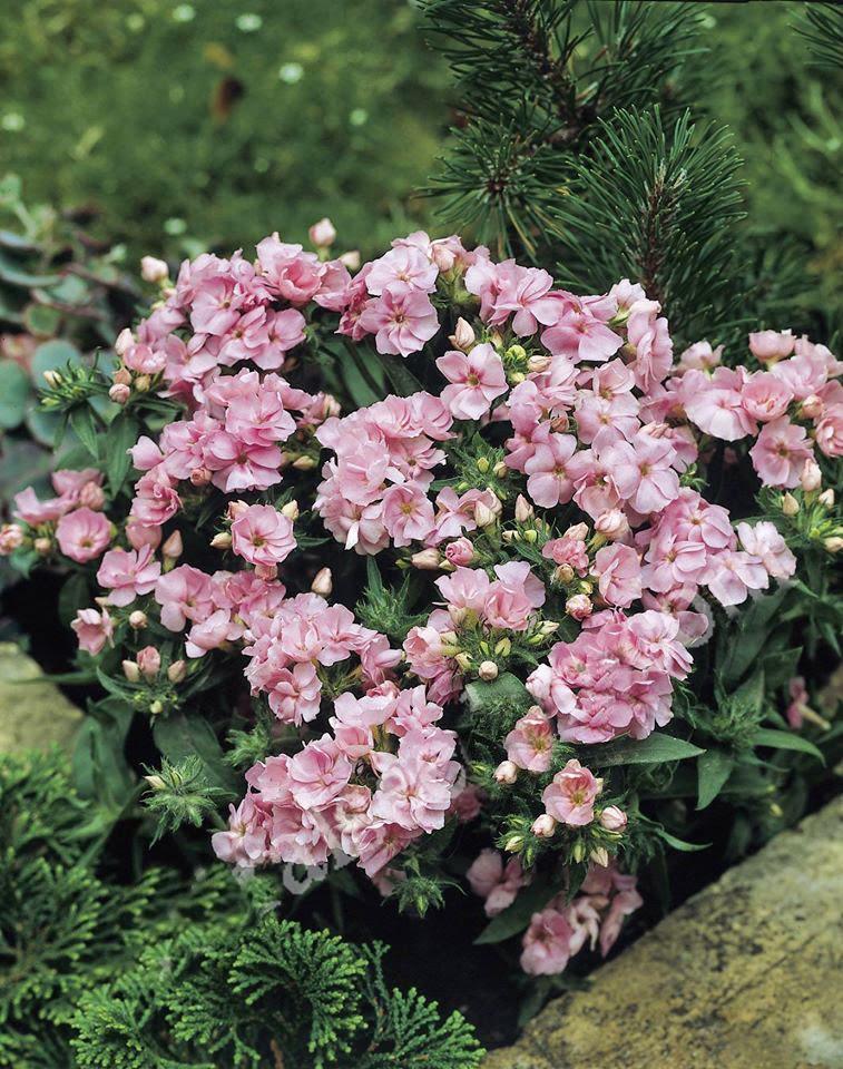 Hoa thanh trúc kép 2