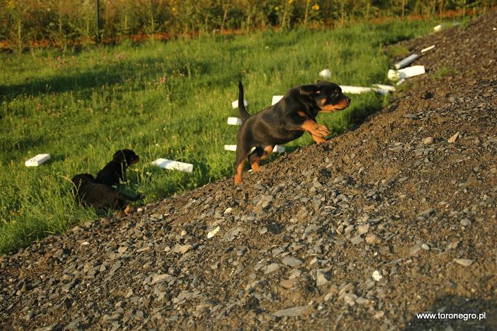 Rottweilerek biegnie szybko