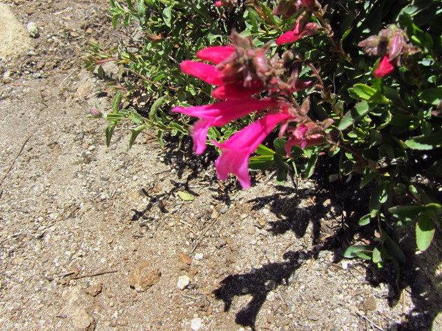 fusca trumpet flowers