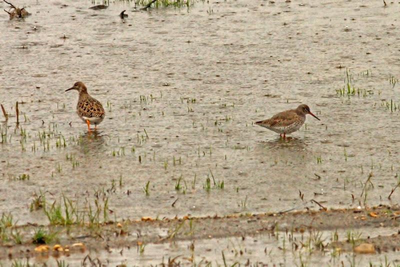 Bataus fluierar cu picioare rosii Comana ploaie pasari birdwatching limicole