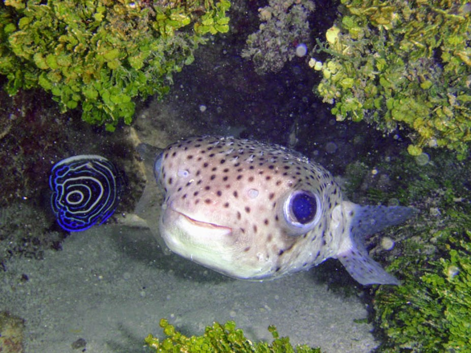 Diodon hystrix (Porcupinefish), Rarotonga.