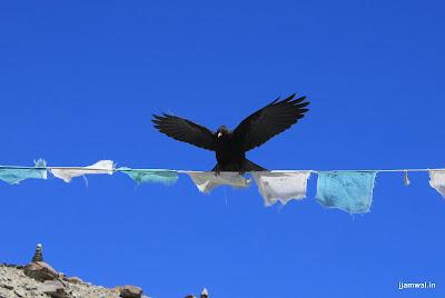 locals call this bird Chinguk (?)