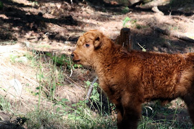 Baby highland cow on Ruckle Heritage Farm on Salt Spring Island in Canada