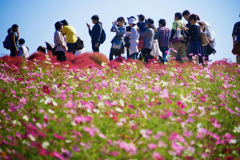 ひたち海浜公園 コキア 写真11