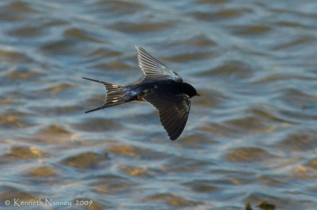Barn Swallow - North-Central Texas Birds