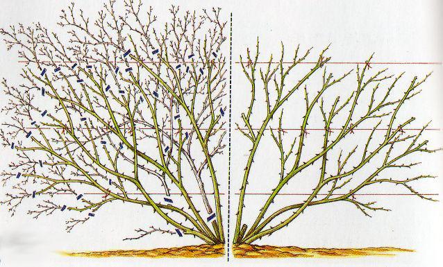 pepinieres du bois de pieton la taille des rosiers. Black Bedroom Furniture Sets. Home Design Ideas