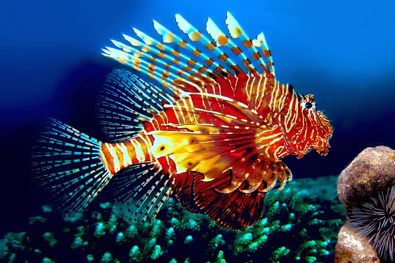 Lion Fish, Similan National Park, Thailand