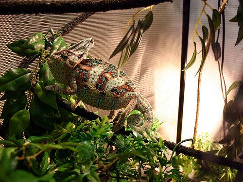 Chameleon in Her Comfy Abode by jasmo & Lighting Heating and UVB for Chameleons | Our Pets We Love u0027Em azcodes.com