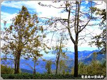 銀杏森林-翠綠茶園、琥珀銀杏樹