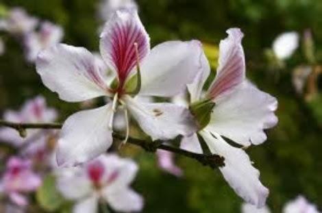 hoa ban trang moc chau pystravel006 Tháng Ba lên cao nguyên ngắm hoa ban trắng Mộc Châu