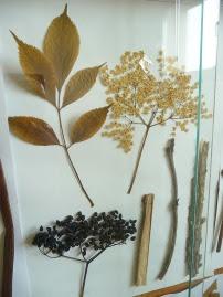 Bez czarny okaz zielnikowy Sambucus nigra