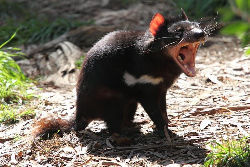 tasmaanse duivel, chen wu