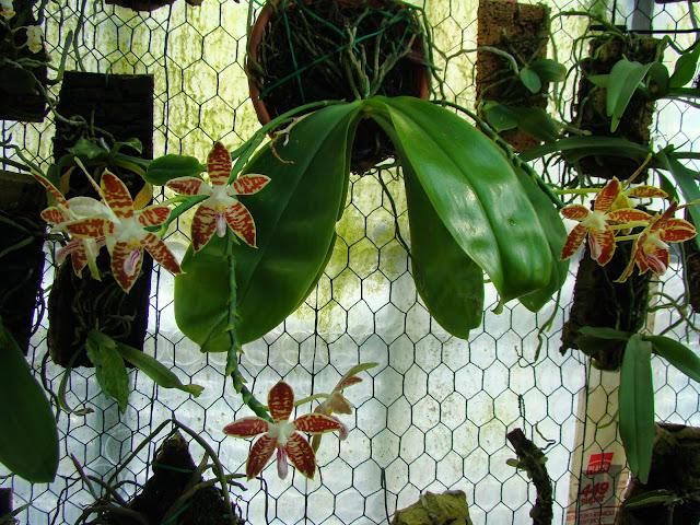 Phalaenopsis sumatrana DSC01518