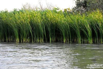 Delta Dunarii - papură subțire
