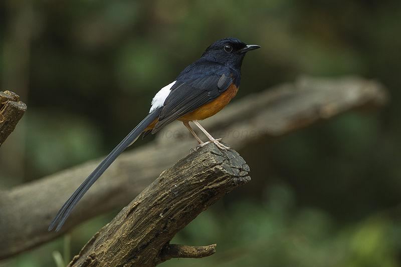 https://upload.wikimedia.org/wikipedia/commons/thumb/8/88/White-rumped_Shama_-_Thailand_S4E7645_%2819177296749%29.jpg/800px-White-rumped_Shama_-_Thailand_S4E7645_%2819177296749%29.jpg