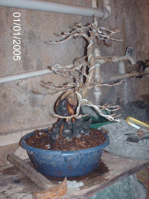 Ficus Nerifolia, Uma raiz de 3 anos... PICT1048