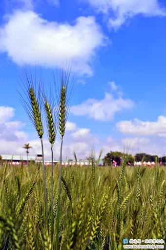 2014小麥文化節 - 小麥更顯碧綠